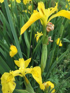 Yellow Iris is beautiful! In my garden Margeritten 7/7/15 by Inger Johanne :)