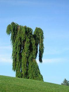 Weeping Norway Spruce (Picea abies) by marsupialrobot, via Flickr