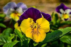 Download Free Wallpapers of Pansy Flowers