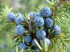 Juniper Berries (Juniperus communis)