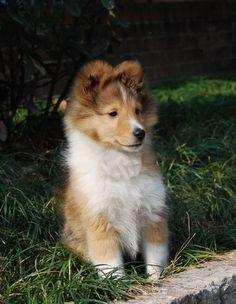Sweet Shetland Sheepdog puppy images.JPG