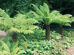 Dicksonia antarctica (tree fern) - exotic tree for shade garden