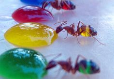 Mohamed Babu created technicolor ants by feeding colored sugar water to ants with translucent abdomens. Babu conducted the experiment in his backyard after his wife noticed the ants turning white as they drank spilled milk. Photo New, Colored Sugar, Taste The Rainbow, Food Coloring, Science Nature, Beauty Science, Nature Nature, Nature Quotes, Rainbow Colors