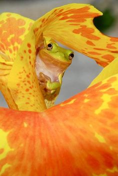 """""""Spiritual dancer""""~The American Green Tree Frog is medium-sized, up to 6 cm (2.5 in) long. Their bodies are usually green in shades ranging from bright yellowish olive to lime green. The darkness of the color can change depending on lighting or temperature."""
