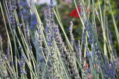 Lavender and its many uses - medicinal, cooking, cleaning, tinctures...