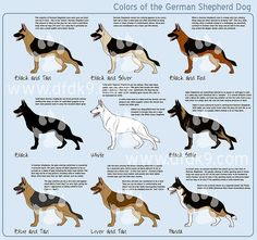 Wicked Training Your German Shepherd Dog Ideas. Mind Blowing Training Your German Shepherd Dog Ideas. Silver German Shepherd, German Shepherd Colors, German Shepherd Puppies, Small German Shepherd, Baby German Shepherds, German Shepherd Tattoo, German Shepherd Facts, German Shepherd Training, West Highland Terrier