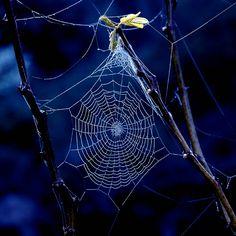 Spider Web - on Navy/ Cobalt Blue All Nature, Amazing Nature, Spider Art, Spider Webs, Itsy Bitsy Spider, Patterns In Nature, Amazing Spider, Faeries, Mother Nature