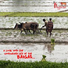 Know the hidden lives of the #Baigatribe working at the #OrganicFarms of #Bagdara with Jai Baghesur.
