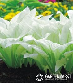 Hosta White Feather 1 pcs