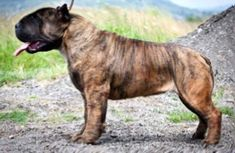 Mollosso Presa Mayo - the concept of new breed! Presa Mayo, Really Big Dogs, Bred Pit, Unusual Dog Breeds, Pet Dogs, Dog Cat, Bully Dog, Cane Corso, Crazy Dog
