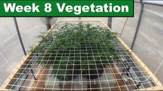 Week 8 of Vegetation for the Screen of Green Weed Grow Series | by Green...