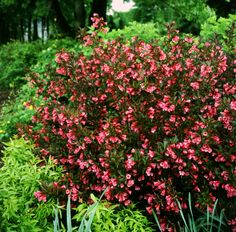 Wine and Roses Weigela from Proven Winners- my new shrub addition Beautiful Bouquet Of Flowers, Pink Flowers, Bushes And Shrubs, Plant Zones, Deer Resistant Plants, Planting Shrubs, How To Attract Hummingbirds, Leaf Coloring