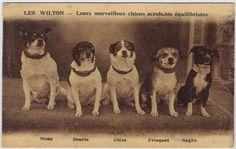 """Les Wilton—""""merveilleux chiens acrobates équilibristes."""""""