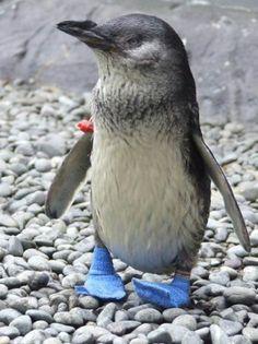 Just a penguin wearing socks!;)