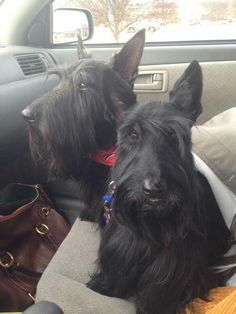 Barkley and Paddy spa day (owner Amy Moore Nothing But Scotties Group)