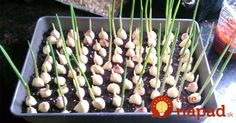 Growing vegetables and fruits in the home garden is rewarding, but many people are put off by the backbreaking work involved at the start of the growing seas.Stop buying garlic at the store. Here's how to grow garlic right at homeStop buying garlic Growing Herbs, Growing Vegetables, Garlic Growing Indoors, Growing Garlic From Cloves, Regrow Vegetables, Growing Tomatoes In Containers, Veggies, Gardening Vegetables, Permaculture