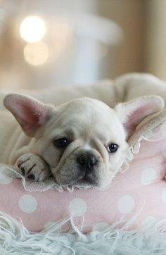 cutie #frenchie #frenchbulldog #acasadava #cute #princess