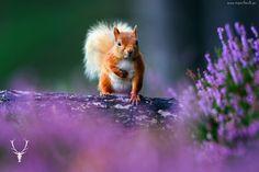 Wiewiórka, Pień, Wrzosy