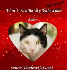 Will you be Sadie's valentine sponsor? Click through to learn more. #sponsoracat #outback #shadowcatsrescue #cats #holidaysatthesanctuary