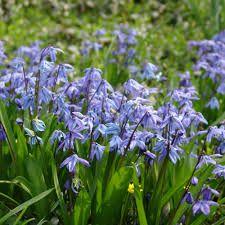 Scilla siberica Små, blålila klockor och vårgröna, skira blad. Tidig vårlök i trädgården.
