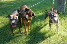Proposer de l'aide aux refuges pour promener les chiens: un excellent moyen de s'aérer