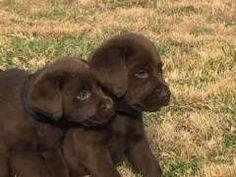 Labrador retriever puppies for sale qld