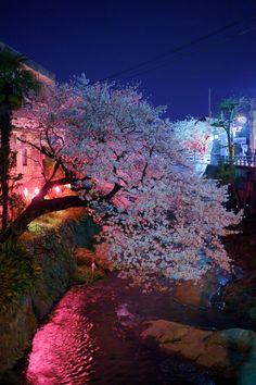 夜桜の画像(写真)
