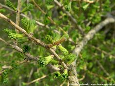 Larch needles in spring Larch Tree, Bud, Trees, Spring, Flowers, Animals, Animales, Animaux, Tree Structure