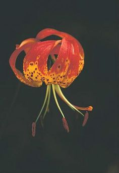 Leopard Lily- Native oregon flowers