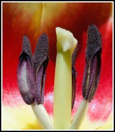 Tulip - Stamen & Carpel - colour by cas lad, via Flickr