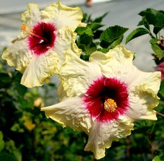 Hibiscus 'Bold and Beautiful'