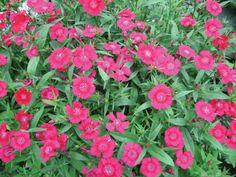 Dianthus Splendens (Steenanjer)