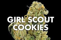 Girl Scout Cookies are far more potent than its name might suggest. A slightly indica-dominant hybrid strain, GSC is known for its power and flavor. Weed Drug, Weed Buds, Cannabis Seeds For Sale, Weed Edibles, Buy Weed, Weed Shop, Pat Cash