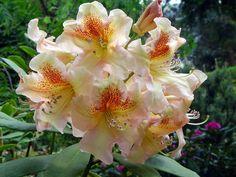 rhododendron bernstein - Google Search