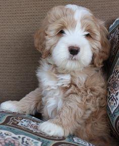 Australian Labradoodle Puppy. They're like little teddy bears!!!