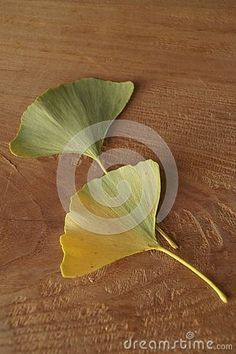 Photo about Autumn colors - leaves of Ginkgo biloba, ginkgo, maidenhair tree. Image of healthy, tree, maidenhair - 130117338