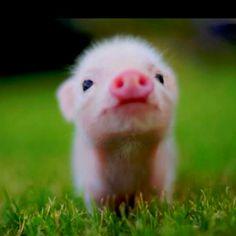 I love baby pigs:) cute-animals