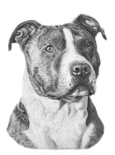 Pitbull Terrier - Published from the Pencil Drawing - Print Size x - Limited Edition of Only 100 Prints This incredibly detailed pencil drawing of the American Staffordshire Terrier captures a dignified prese Pencil Drawing Tutorials, Pencil Drawings, Drawing Sketches, Pitbull Americano, Caricature, Perros Pit Bull, Pitbull Drawing, American Bully, American Pit