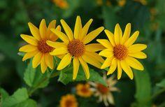 Coreópsis – Imagens de Flores Margaridas Amarelas  http://www.imagensdeflores.com/coreopsis-flores-margaridas-amarelas/