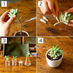 #plantcare #propagating #cactus #succulents #succulentplant #plants #plantcare #howto #propagate #succulentlove