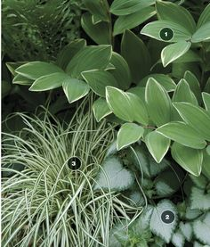 Nice plant combination and easy maintenance. Variegated Solomon's Seal, 'White Nancy' Lamium, & 'Evergold' sedge.