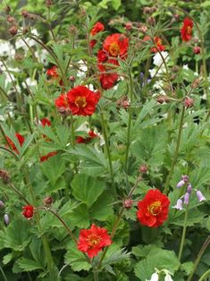 """40"""" Geum Sangria  june-july Garden Fountains, Fountain Garden, Flower Landscape, Home Landscaping, Red Accents, Back Gardens, Plant Care, Cut Flowers, Sangria"""