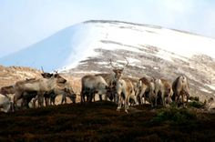 Credit: Sirkas photo/PR To enable their young to survive in a harsh environment, reindeer produce very rich milk which is nearly 20% fat - c...