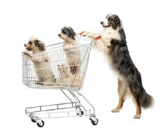 Easy Chores You Can Train Your Dog To Do At Home http://petsutra.com/wp-content/uploads/2017/03/photodune-7262989-australian-shepherd-standing-on-hind-legs-and-pushing-a-shopping-cart-with-dogs-xxl.jpg  http://petsutra.com/easy-chores-train-dog/ For years we have been seeing movies and advertisements where a dog fetches the newspaper, opens the door, brings his owner a bottle of water from the fridge and does many more things. This ignites a desire in us to have our pet do