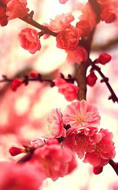 Cherry Blossoms | Flickr : partage de photos !