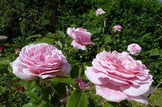 Frederic Mistral rose   Frederic Mistral