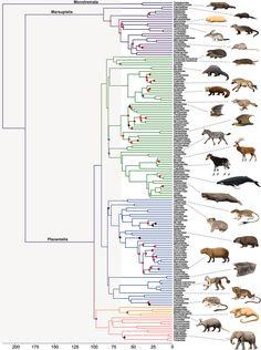 A New Phylogeny of Mammals