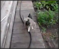 Now That's Fetching...This tiny dog can't run like the wind or does he have supercanine jumping skills, but he makes do with what he has, especially when his cargo isn't a ball, or a toy, but a lazy, drunk, escaped cat.   http://theawesomer.com/super-fetch/134386/