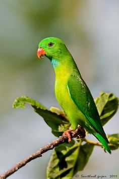 Vernal Hanging Parrot(Loriculus vernalis) is a small parrot which is a resident breeder in the Indian subcontinent and some other areas of Southeast Asia.