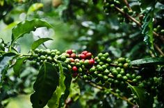 Doka Estates Coffee Tour Review: Coffee cherries at Doka Estate